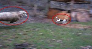 Du må se hvordan denne sauen og hunden leker sammen. Jeg har aldri sett noe lignende.