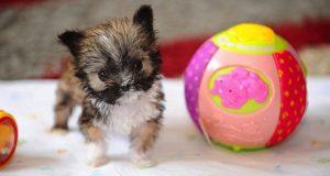 Den minste hunden i verden er (selvfølgelig) også den SØTESTE. Han veier bare et halvt pund!