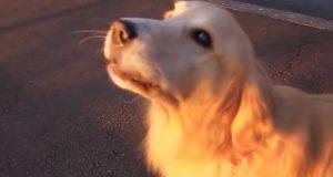En hund hører en ambulanse kjøre forbi. Jeg var ikke forberedt på det han gjorde med saken.