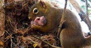 Hardhendte tretrimmere veltet ekornredet. Se hvordan ekornmamma redder sine babyer fra en sikker død.