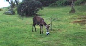 Da de så ut vinduet fikk de øye på en hjort som hadde oppdaget gleden av å spille fotball…!