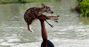 En hjortekalv holdt på å drukne i en voldsom flom. Så kom denne gutten inn i bildet.