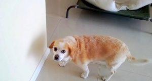 Hunden Bizkit har akkurat gjort noe galt, og hans bedårende «walk of shame» levner ingen tvil om DET.