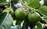 Denne lite kjente frukten har en smak du aldri kommer til å tro. GI DEN TIL MEG!
