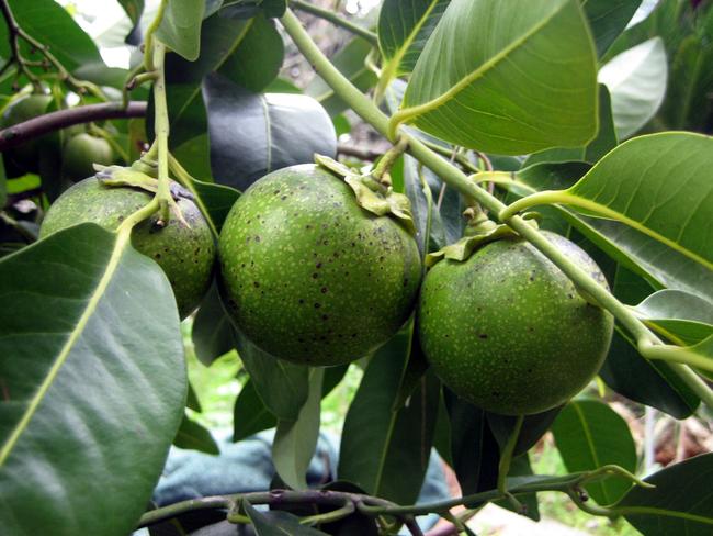 black-sapote (1)
