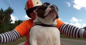 Bulldogen elsker å kjøre turer med eieren. Det hun gjør ved 0:06 er både episk OG bedårende.