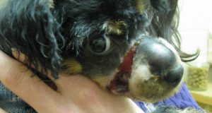 Denne valpen ble funnet i en snødekt pappeske med munnen knytt igjen. Og så? Wow, fantastisk.