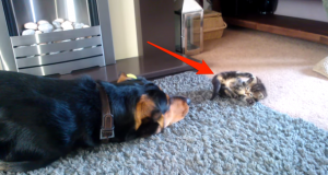 Denne vakthunden blir presentert for det nye familiemedlemmet, kattungen. Jeg har aldri sett noe søtere.