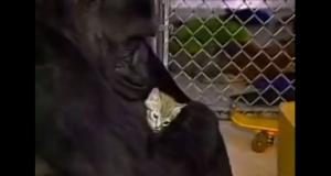 Mange tror at dyr ikke kan vise følelser. Denne gorillaen beviser at vi har tatt feil.