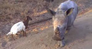 Neshornbabyen prøver så godt han kan å hoppe rundt som sin geitevenn. Så søt og tapper.