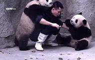 En mann prøver å gi dem medisin, men disse tøysete pandabarna vil bare leke. Så søtt.