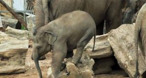 Denne videoen av babyelefanter besvarer ett viktig spørsmål… Mange ganger.