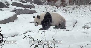 Denne pandaens reaksjon på det aller første snøfallet smeltet meg sønder og sammen.