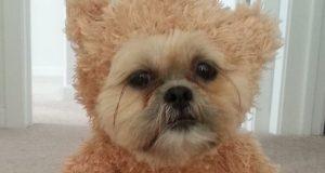 Denne hunden utkledd som en teddybjørn vil fylle hjertet ditt av glede. Herreguuud.