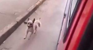 Lojal hund jager ambulansen med den skadde eieren på innsiden, hele veien til sykehuset.