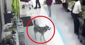 En hund går inn i butikken med ETT viktig juleoppdrag – som fikk alle til å le.