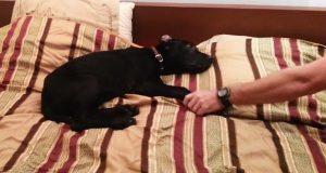 Hunden deres har ikke spesielt lyst til å gå ut av sengen. Kranglingen hans får eierne til å le.