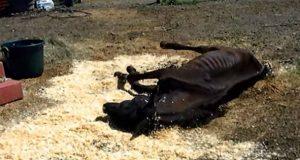 Denne sultende hesten ble etterlatt for å dø, inntil disse snille menneskene fant ham.