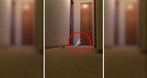 Denne kakaduen løper rundt i huset og skriker fullstendig nonsens.