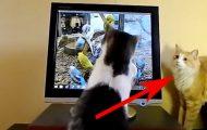 Katten vil fange fuglene på skjermen, men da blir broren irritert. Dette er så søtt.