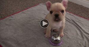 Triksene denne franske bulldogvalpen har lært på bare 4 dager? Helt utrolig.