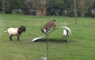 Noen geiter fant et stykke metall på jordet sitt.. og gjorde det morsomste jeg har sett.