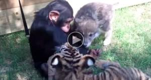 Hva skjer når en babysjimpanse, ulvevalp og tigerunge møtes? DETTE.
