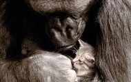 Gorillaen finner ut at kattungen døde. Du vil bli knust over reaksjonen.