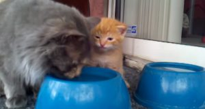 Mammakatt lærer kattunge hvordan man skal drikke. Ansiktet den lager er fantastisk.