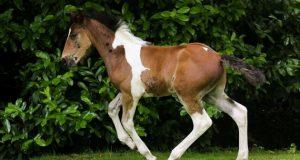Føllet fødtes med en hest på ryggen – nå har millioner blitt fascinert av de vakre bildene.