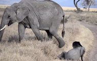 Søt liten babyelefant får et bedårende raserianfall og ruller seg i skiten.