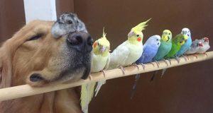 En golden retriever, 8 fugler og en liten hamster er de mest uvanlige bestevennene noensinne.