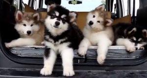 Hva disse hundene gjør når de hører favorittsangen sin, vil være det beste du så denne uken.