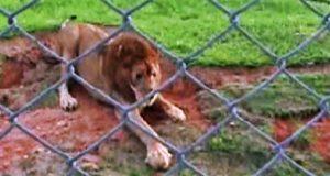 Gleden denne løven utstråler er smittsom! Se når potene hans berører gresset for aller første gang.