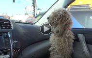 Han slapp en hjemløs puddel inn i bilen sin. Men hold et øye med hundens pels. Wow.
