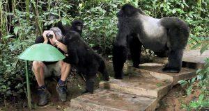Han er ute og tar bilder i jungelen, men se hva den store gorillaen gjør. Utrolig!
