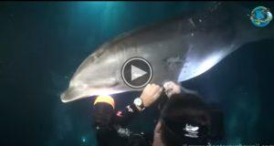 En skadet delfin oppsøker denne dykkeren for hjelp. Så skjer DETTE. Wow.