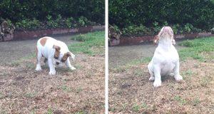 Denne bedårende engelske bulldogen opplever regn for første gang. Reaksjonen hennes er herlig.