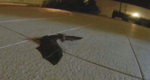 Det som skjedde da disse karene la en flaggermus-baby på bakken, er utrolig.