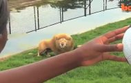 Han kaster en fotball inn til løven – hvordan den reagerer må du bare se for å tro.