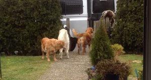 Så snart mamma kommer hjem, stiller disse hundene seg opp for å gjøre noe jeg ikke kunne tro.