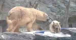 Isbjørnungen faller uti vannet ved et uhell. Men vent til du ser morens reaksjon. Utrolig!