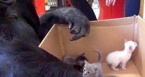 De satte en eske med kattunger inn til gorillaen. Hvordan hun reagerte da? Wow.