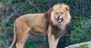Da disse tre løvene så en liten jente bli kidnappet, gjorde de noe forbløffende.