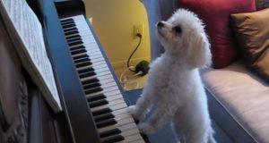 Å se denne lille hunden spille piano som en proff vil gjøre deg sjalu… Og glad.