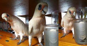 Denne tøysete fuglen får et raserianfall når han ikke får sin daglige luftetur.
