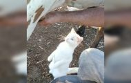 Den gamle bonden melket kua, men da vi så hva katten gjorde? Latterkick.