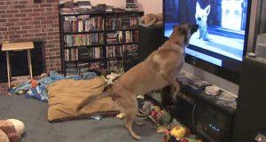 Hundens favorittfilm settes på, og reaksjonen hans er det beste jeg har sett på lenge.