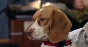 Mann er på TV for å vise frem sin smarte hund. Da gjør beagle-hunden hans det morsomste noensinne.