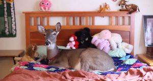 Hva en blind, døende hjortekalv lærte en familie er ubetalelig. Ingen kunne forvente at dette skulle skje.